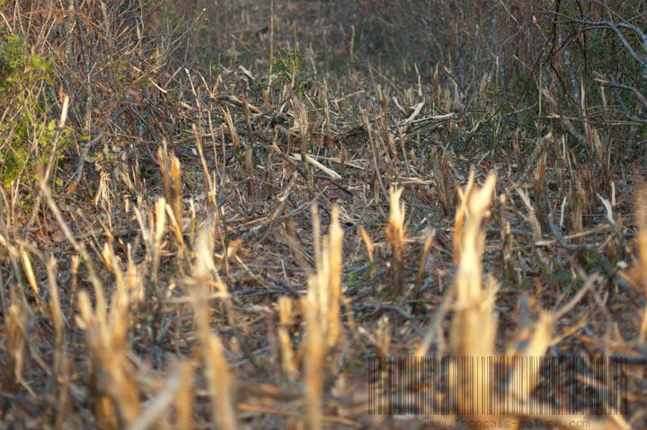 Broyage pour layons en forêt de Tronçais