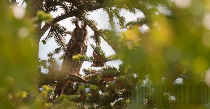 Le hibou moyen duc présent en Pays de Tronçais