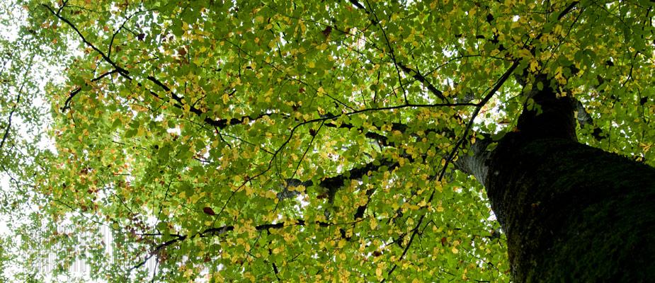 Hêtre de la font sablière, forêt de Tronçais