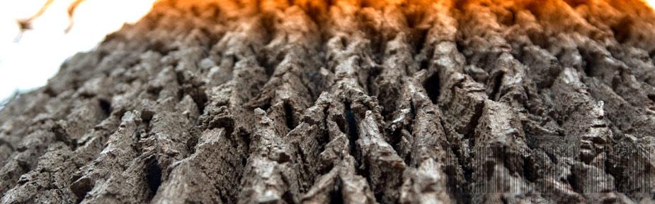 Écorce d'un vieux chêne de Tronçais, plus de 350 ans