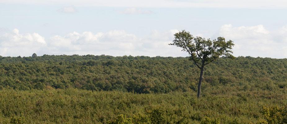Le Tire et Aire, 350 ans, géant au cœur de la forêt