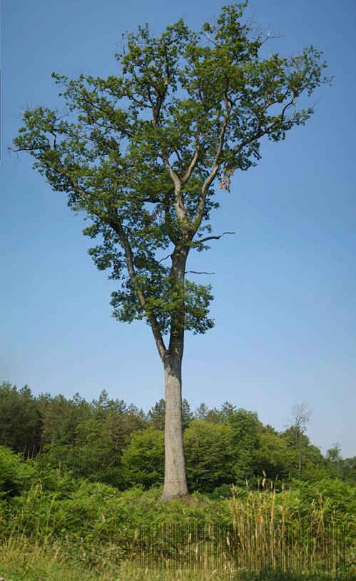 Le chêne de Vitray