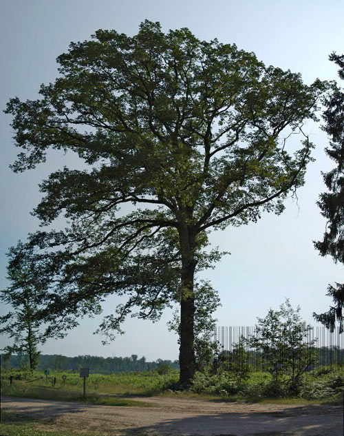 Chêne du Pays ancien