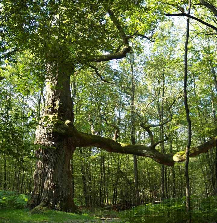 Chêne de Montaloyer
