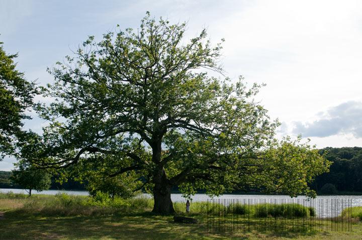 Chêne de Pirot