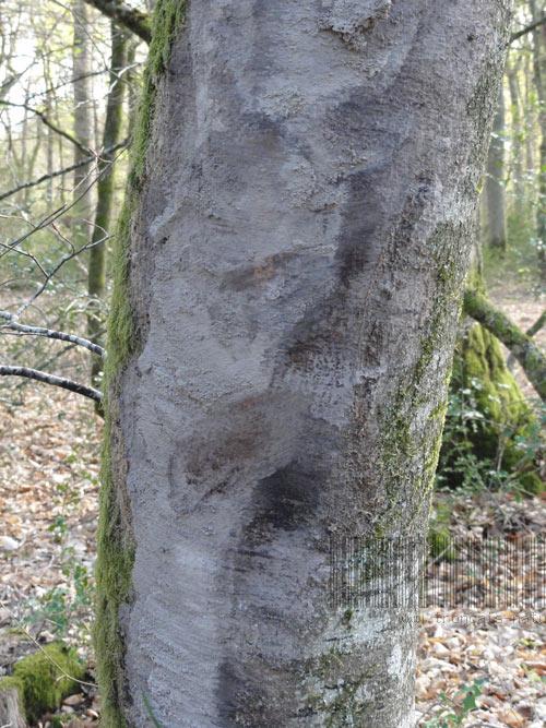 Frottement de pneus de débusqueur, forêt de Tronçais
