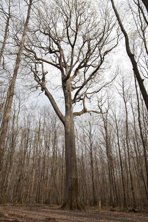 Le chêne Stebbing