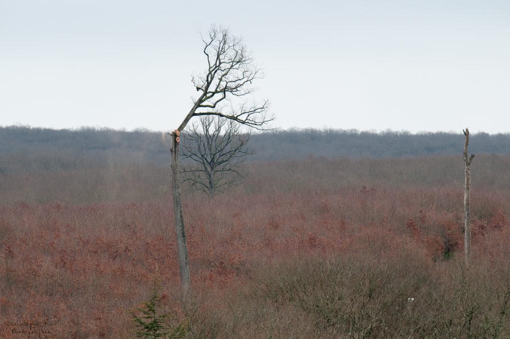 Abattage du chêne de Morat 2010
